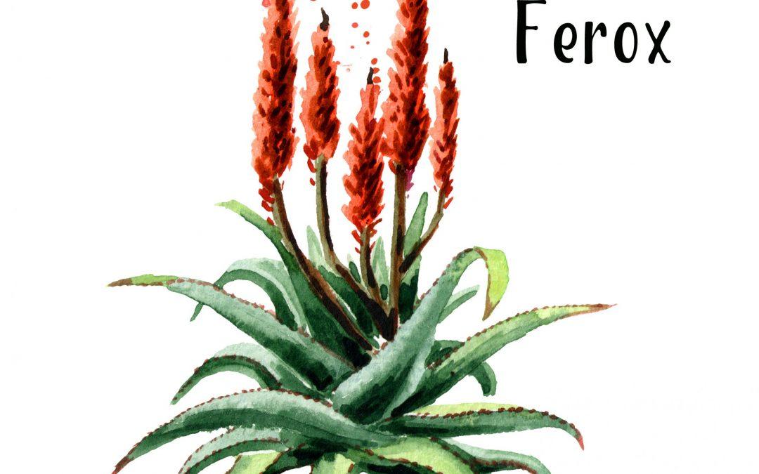 Aloe Ferox, auch Kap Aloe genannt – ein Geschenk aus Südafrika